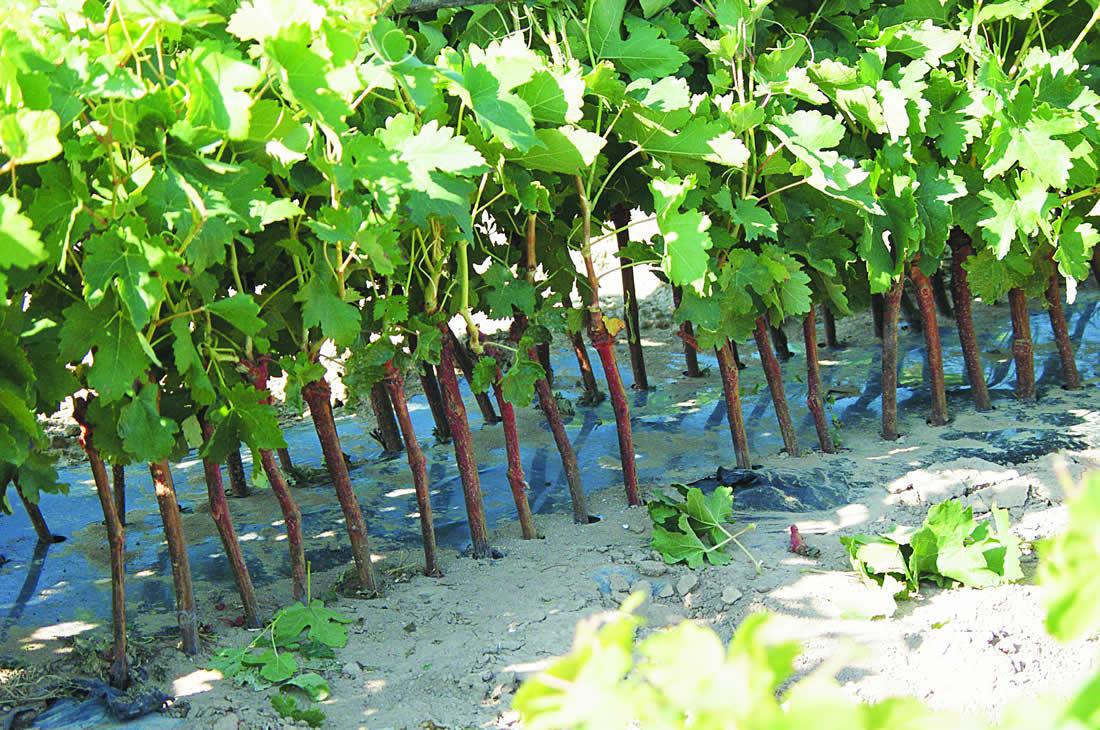 tierra uvas